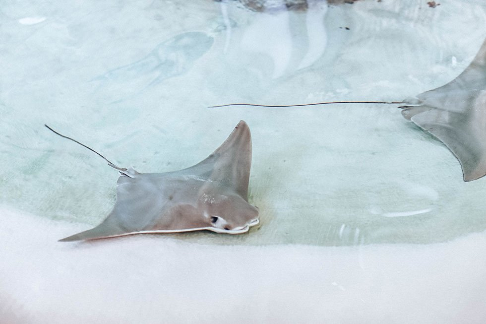 sting ray at mote marine